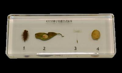 植物种子传播方式标本