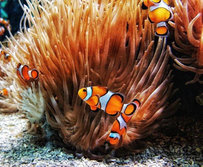 海鲨水族教你孵化小丑鱼