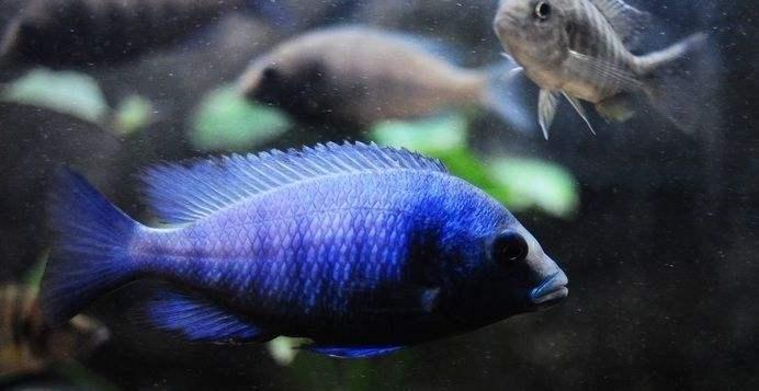 海鲨水族介绍蓝宝石鱼的养法