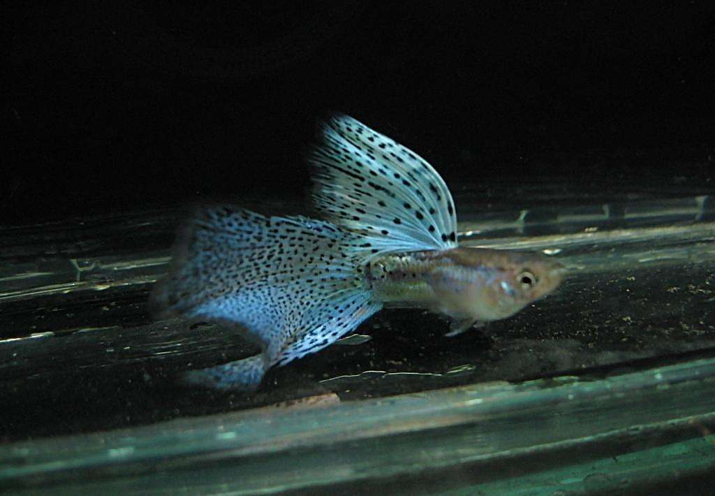 海鲨水族介绍孔雀鱼的饲养