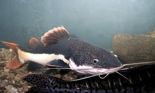 海鲨水族介绍红尾鸭嘴
