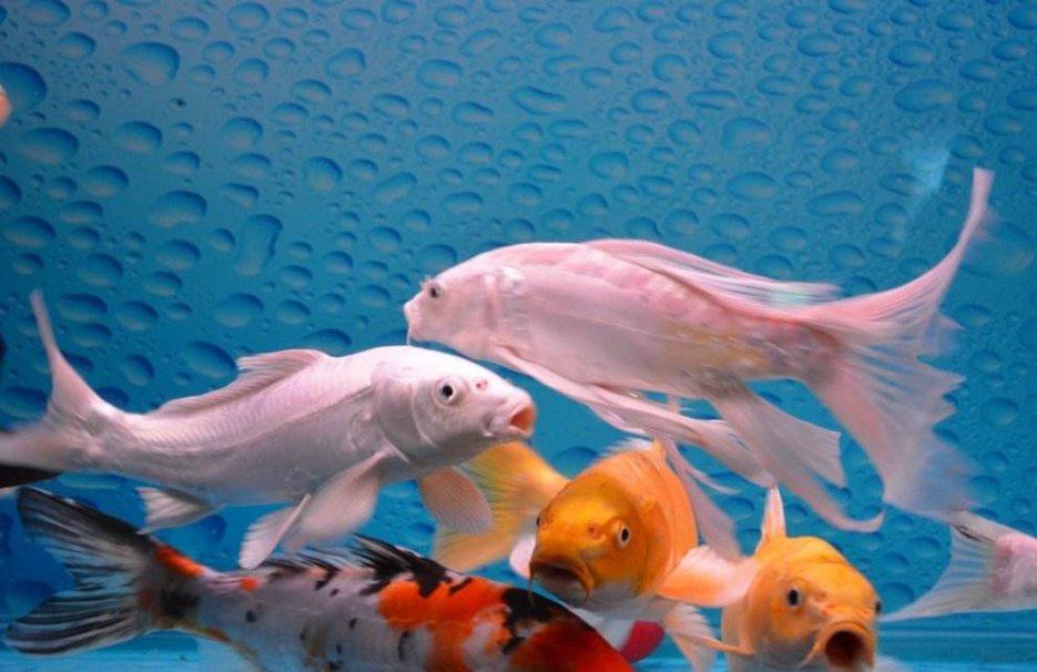 海鲨水族介绍观赏鱼常见疾病