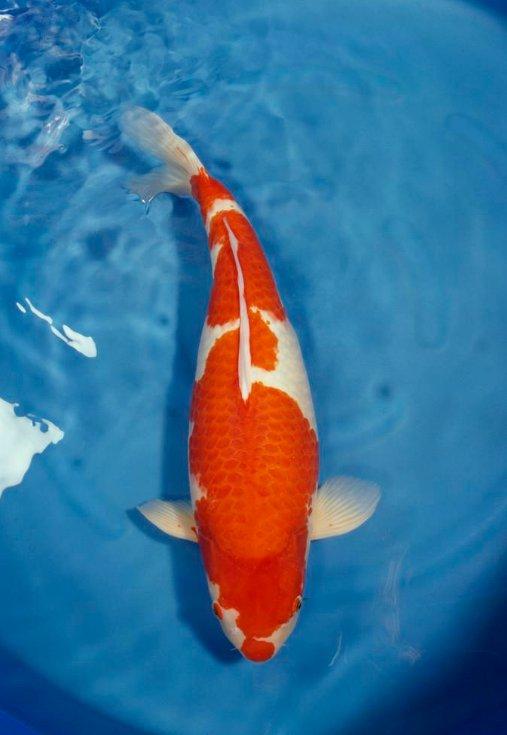 海鲨水族工厂介绍锦鲤的饲养环境