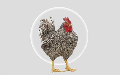 薩索肉雞T88