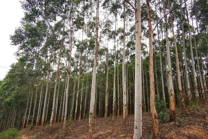 腐植酸对桉树的作用