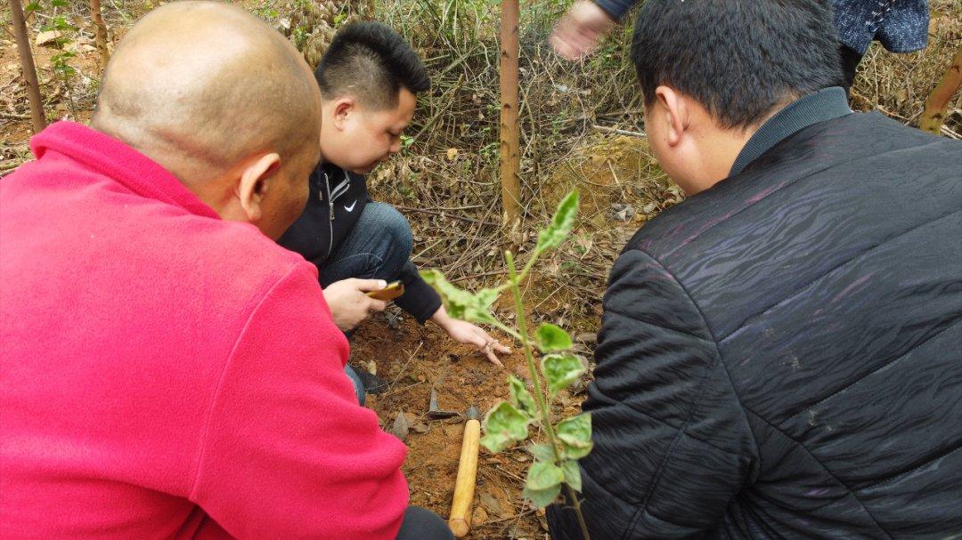 桉树技巧丨桉树缺素先从叶片表现出来,及时发现可施肥补救!