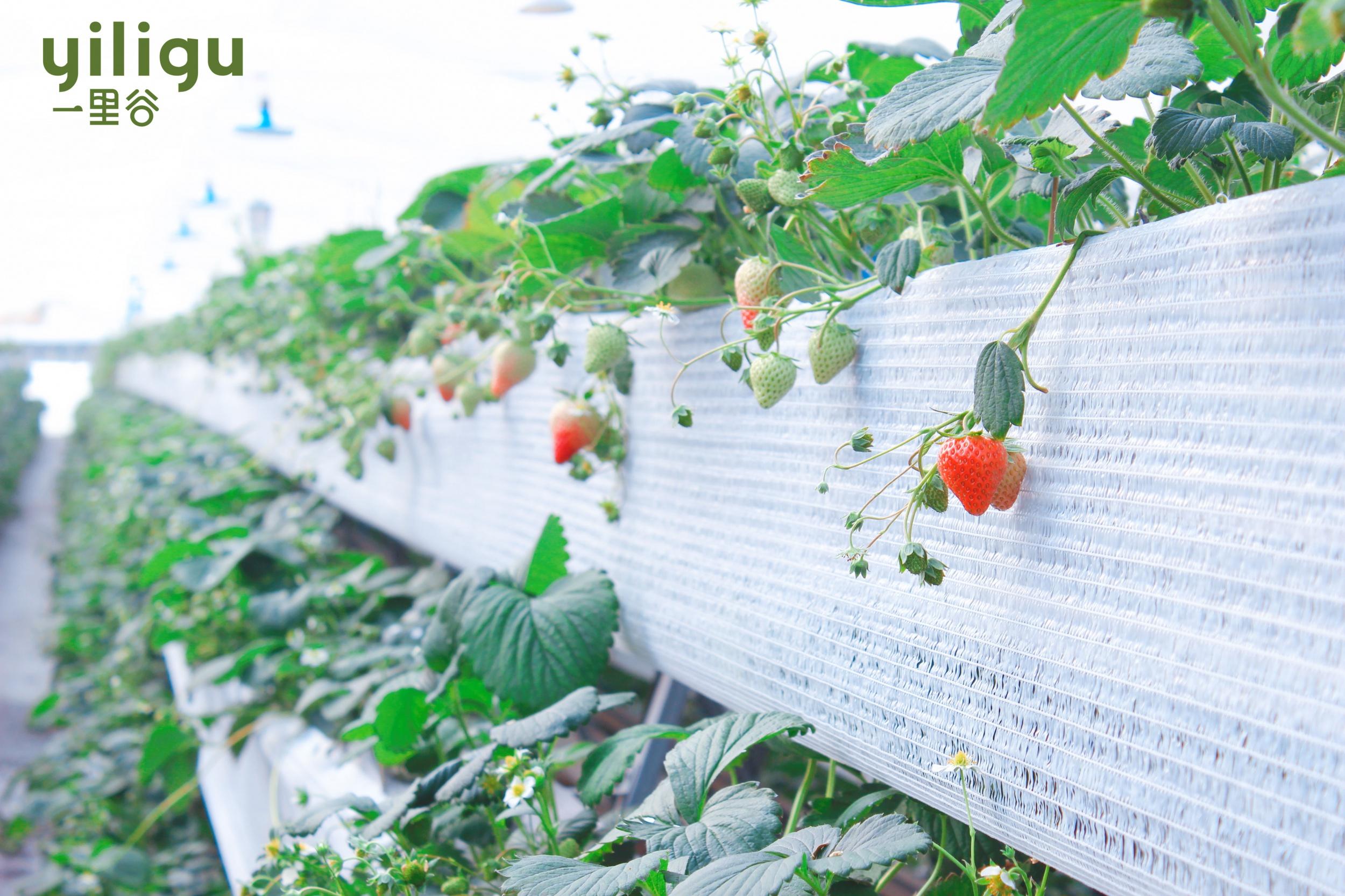 草莓全產業鏈安全管控及清潔化生產技術