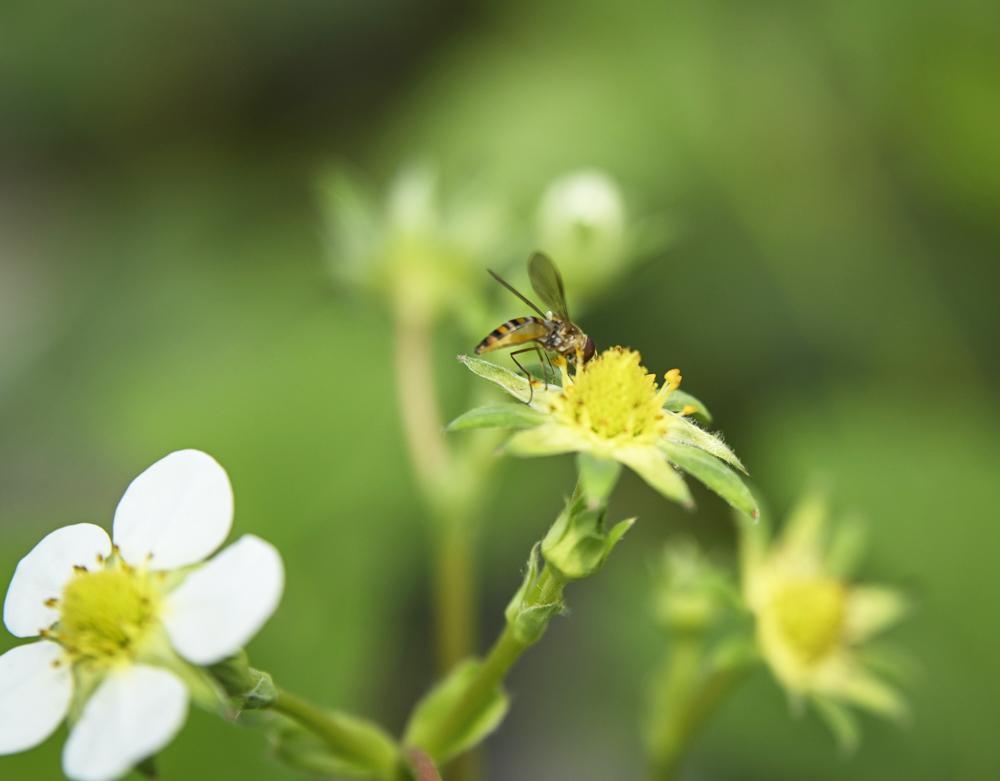 比利時雄蜂授粉