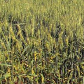 小麥病害防治技術