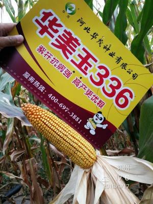 華美玉336——站稈機收 大戶首選 鐵粒玉米