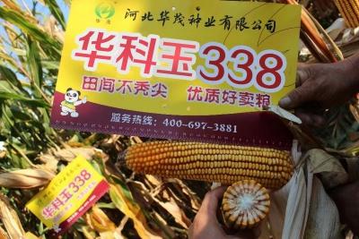 華科玉338——玉米中的大棒王