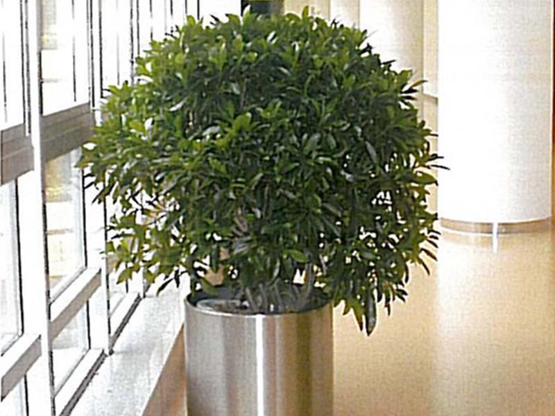 上海绿植租赁过程中是如何养护绿萝和元宝树这两种绿植的