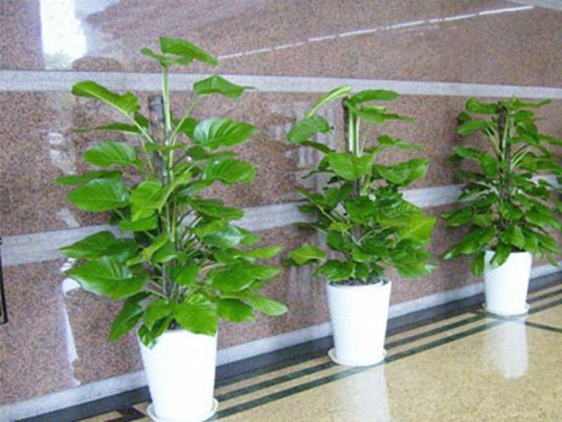 上海植物租赁公司提醒您在栽种药用花卉前应该选择好适合的花卉对症养花