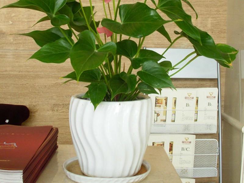 上海绿植租赁公司从平衡绿植、植物修剪等六个方面进行大型绿植的移植工作