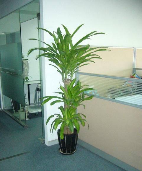上海植物租赁公司巴西木的养护常识及品种大全