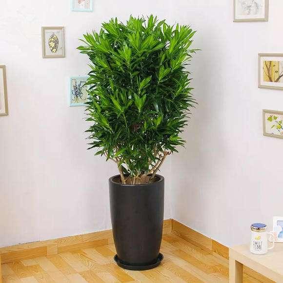 百合竹植物养护八大常识性问题浅析