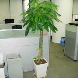 卉莘植物租赁公司给大家简单介绍下发财树是怎么编织的