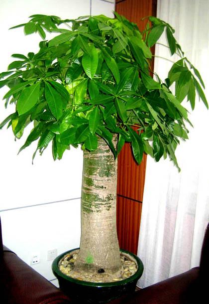 发财树原名瓜栗,是植物租赁过程中的木棉科小乔木