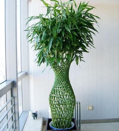 富贵竹笼是一种室内观赏植物,常常用于办公室内植物租赁