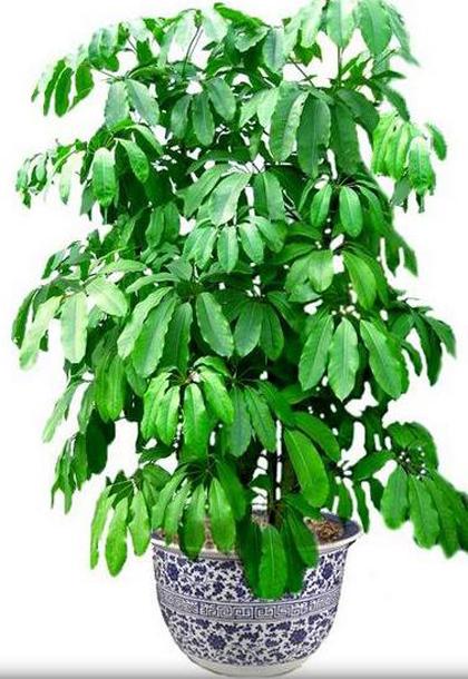 大叶伞是室内植物租赁公司理想的观叶植物