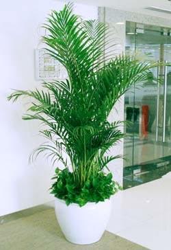 国王椰子可以作为植物租赁公司的室内盆栽观赏