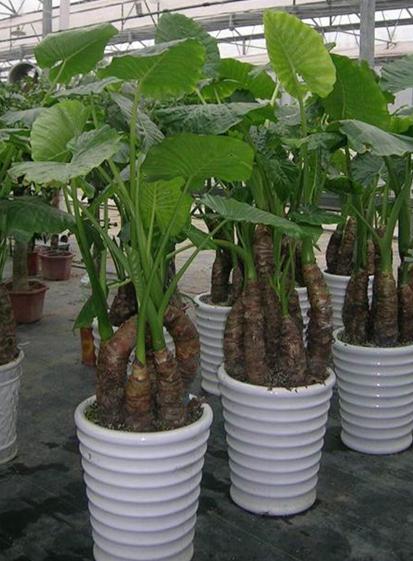 办公室植物租赁滴水观音应该怎么养护