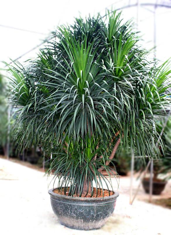 龙血树宜室内栽培是植物租赁过程中的一种常见植物