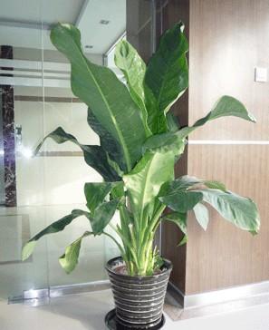 办公室植物租赁的绿巨人又称绿巨人白手掌属多年生阴生草本植物