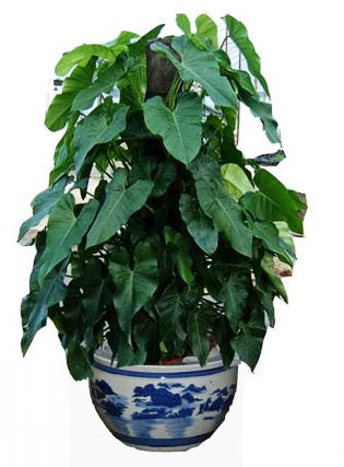 绿宝石植物在办公室植物租赁过程中的养护方法有哪些