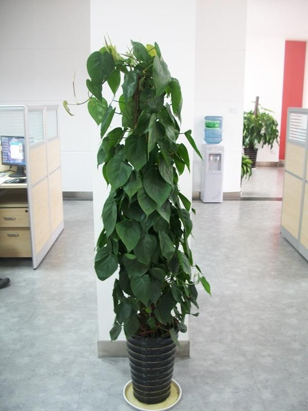 心叶藤在植物租赁过程中技术人员的栽培及养护方法是怎么样的