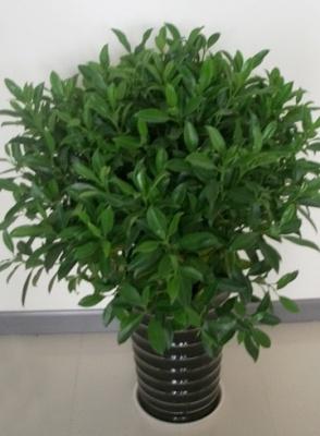 非州茉莉植物养护栽培过程中需要注意哪些问题