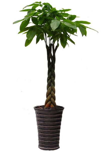 编织发财树