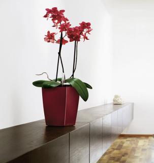红色蝴蝶兰