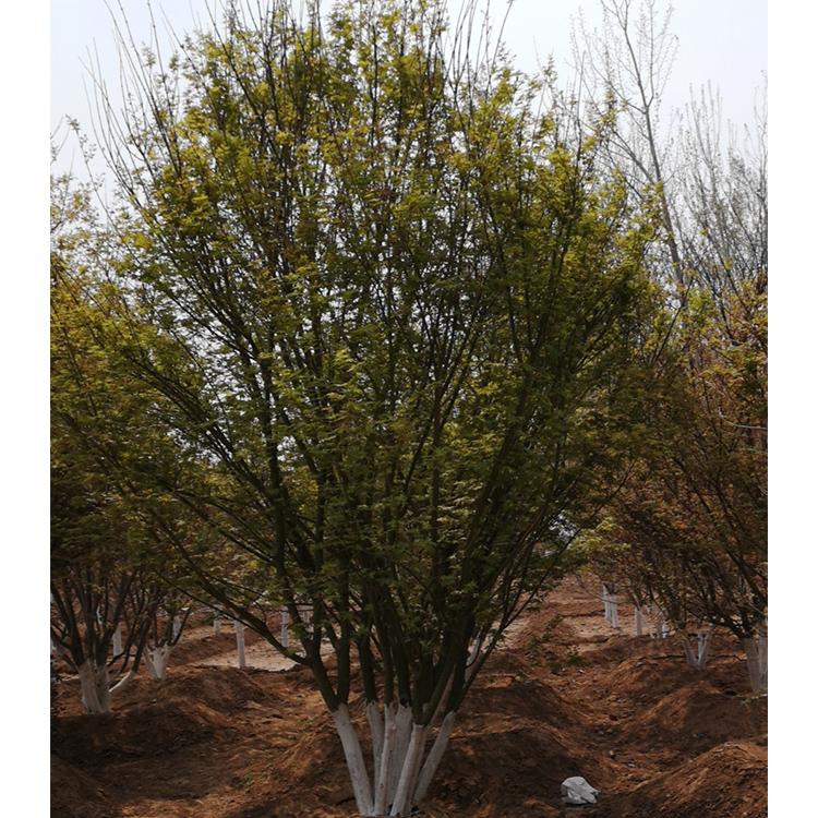 丛生鸡爪槭