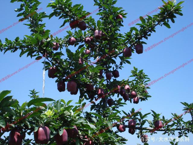 苹果树清园新的使用技术