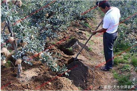 苹果树专用肥料及苹果树清园「三喷一涂技术...