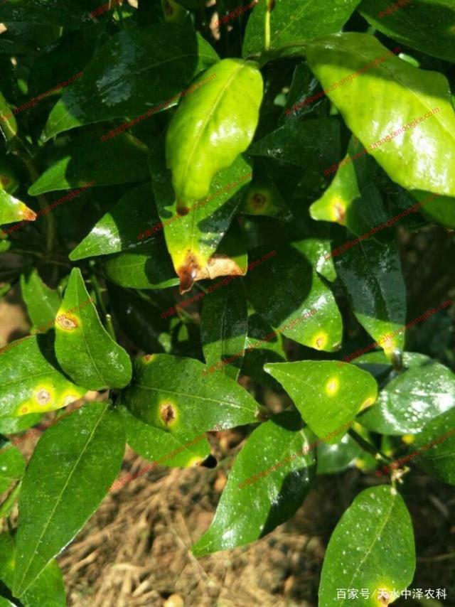 柑橘溃疡病的防治和用药