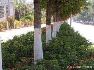 果树涂白剂-树干涂白剂-树木涂白剂使用大...