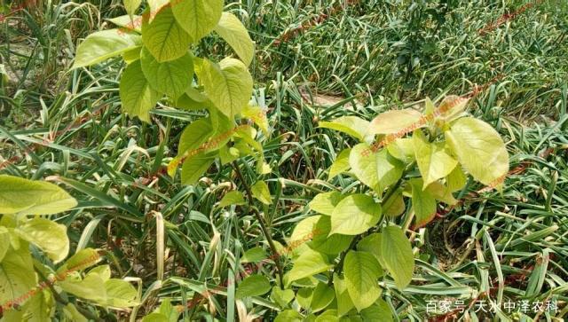 哪些原因引起的果树黄化,你知道防治措施吗...