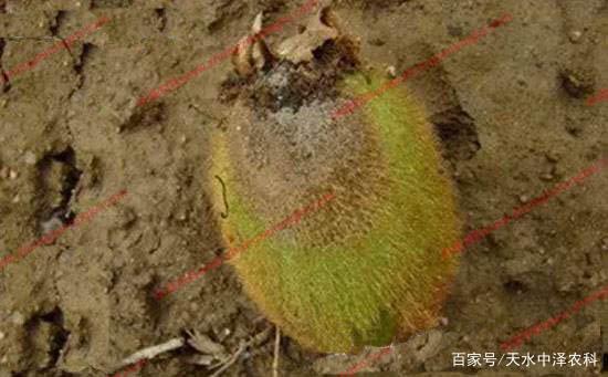 猕猴桃果腐病的发生原因及防治方法