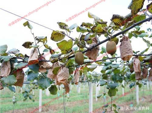 如何做好早春猕猴桃主要病害的防...